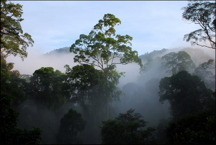 Danum  Valley, trees in the mist