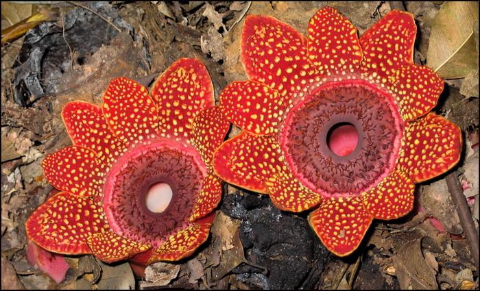 Rafflesia in Chiang Mai, Thailand