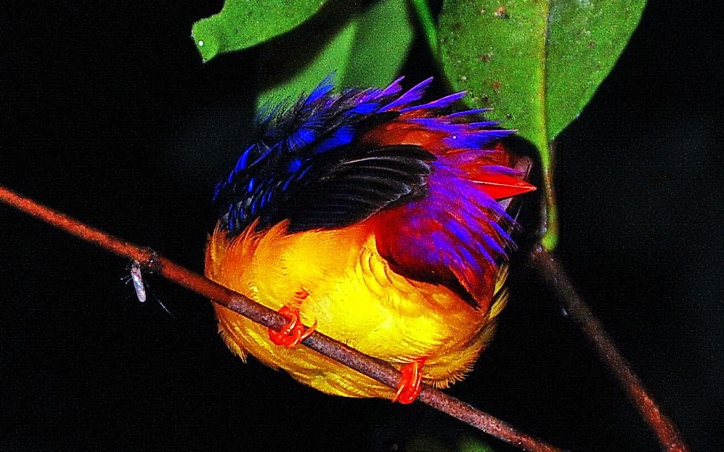 Sleeping kingfisher, Danum Valley, Borneo