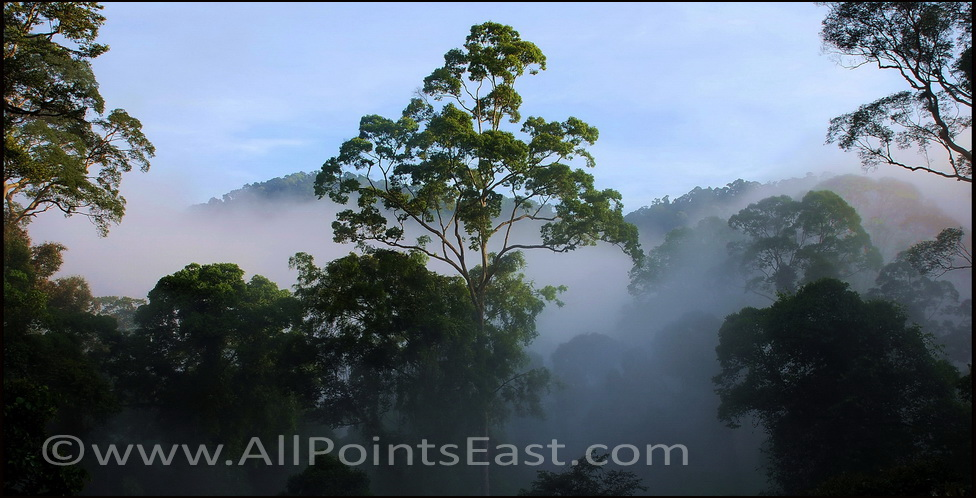 Danum  Valley, trees in mist
