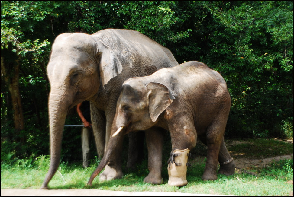 Portrait of the artist as a young elephant - Lucky and Chouk at Phnom Tamao
