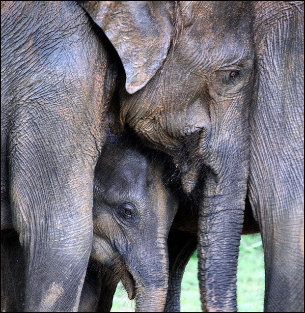 These are actually Sri Lankan elephants but.....