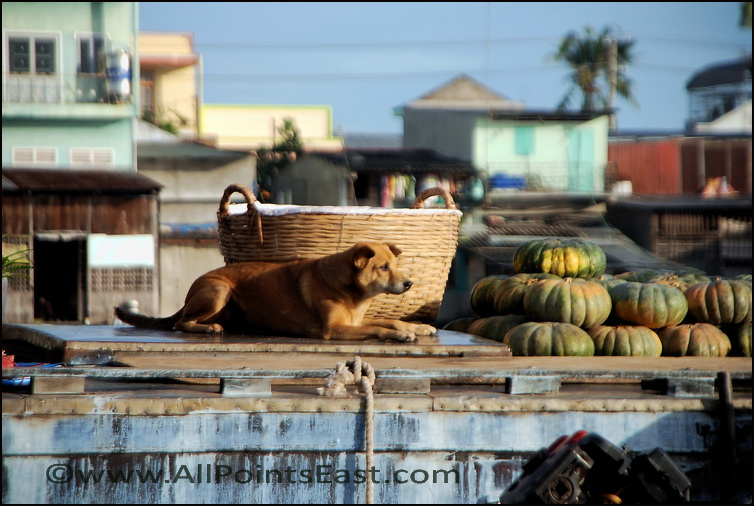 and last but not least - dog making sure pumpkins don't escape