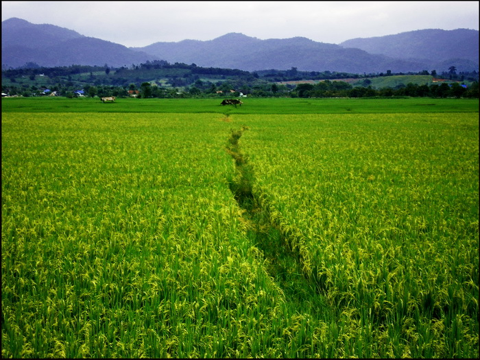 Golden Triangle Photographs. Emerald green paddyfields