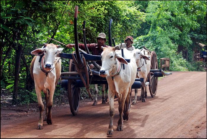 Convoy of ox carts near Kuhananokor Temple, Kompong Thom