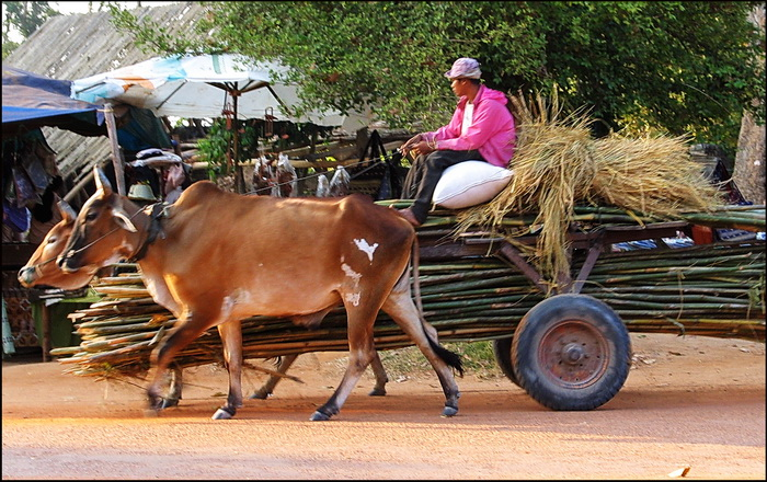 Cow Pulling Wagon : Traditional forms of cambodian transport