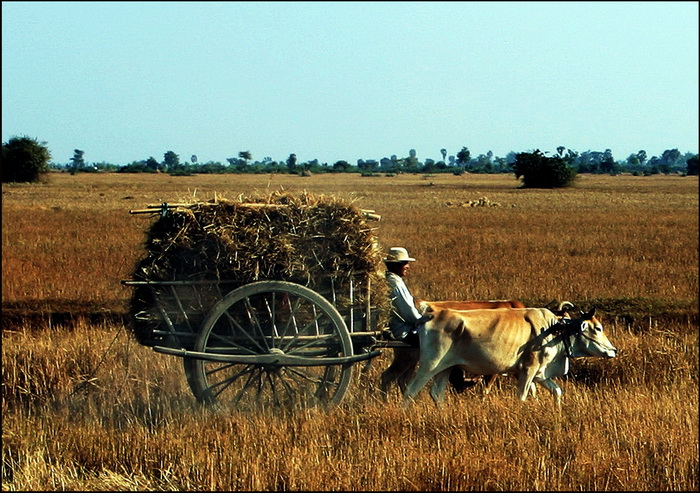 And another very traditional model in the paddy-fields