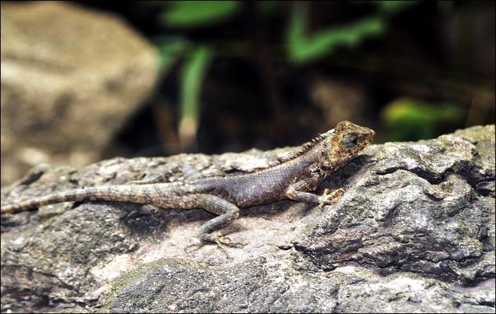Pha Taem National Park. Lizard posing in the sunshine