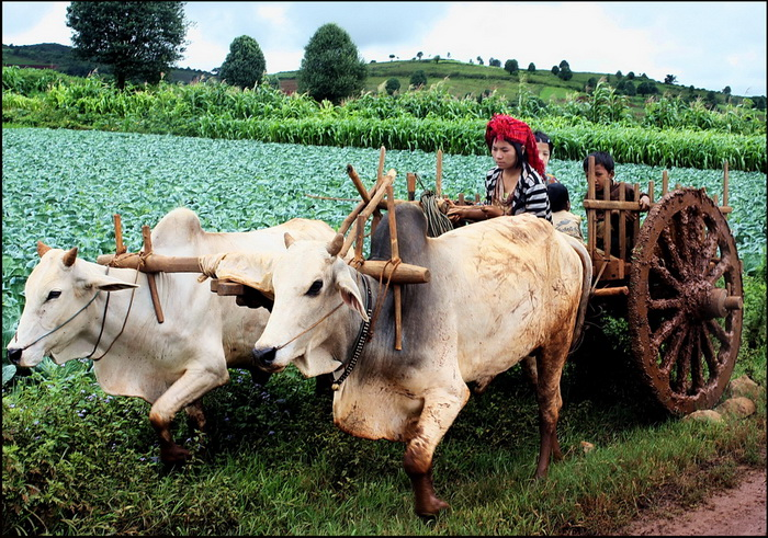 Pa-O woman and oxcart - on the road to Pindaya
