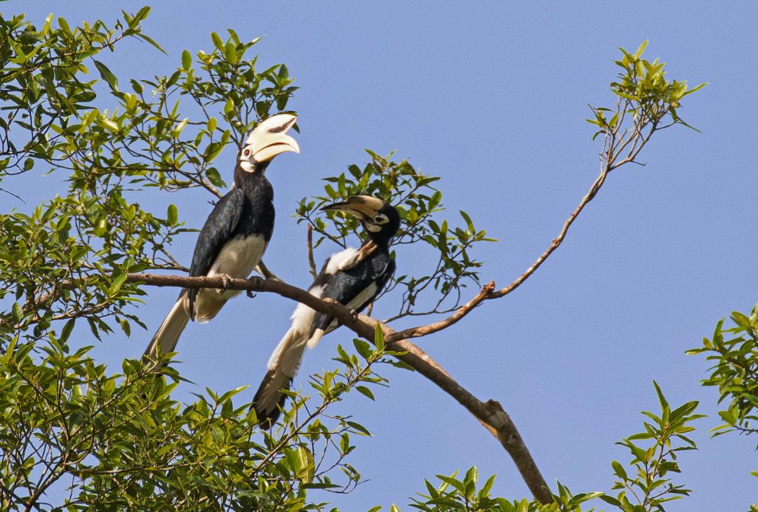 Malaysia, Borneo Adventure. Pair of hornbills by Erica Halvorsen