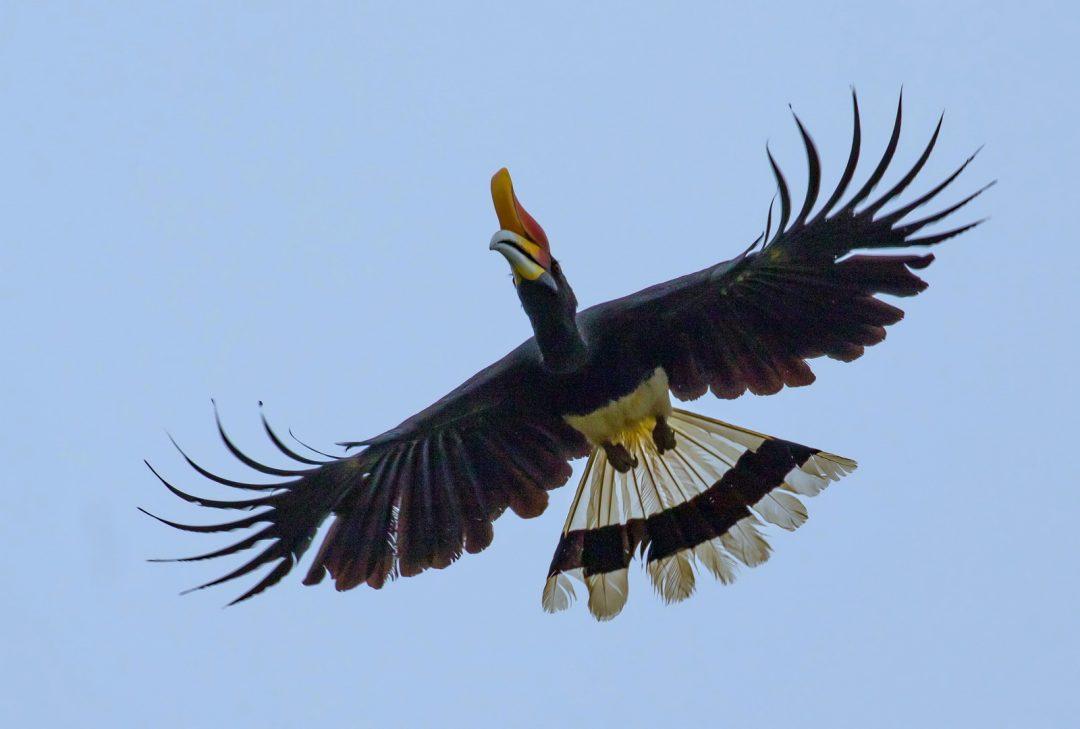 Malaysia, Borneo Adventure. Hornbill, Erica Halvorsen