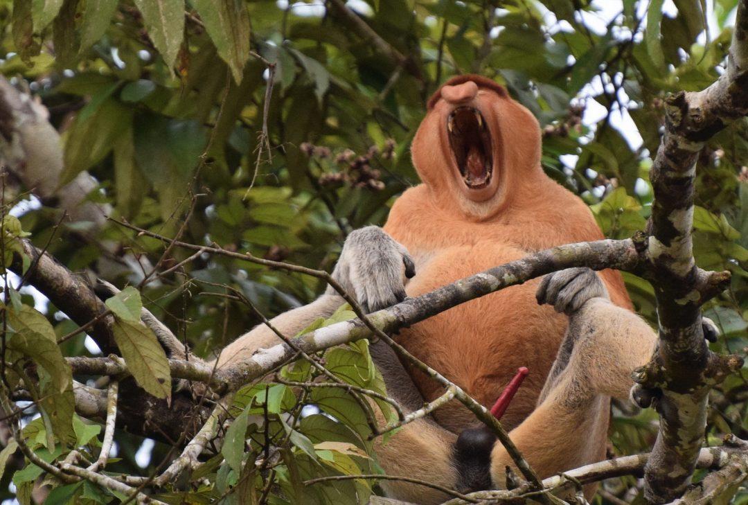 Malaysia, Sarawak, proboscis monkey