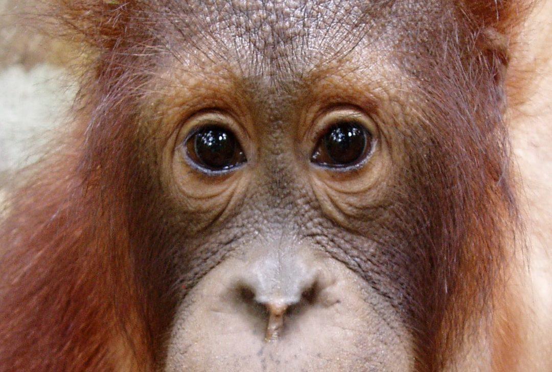 Malaysia, Borneo, orangutan