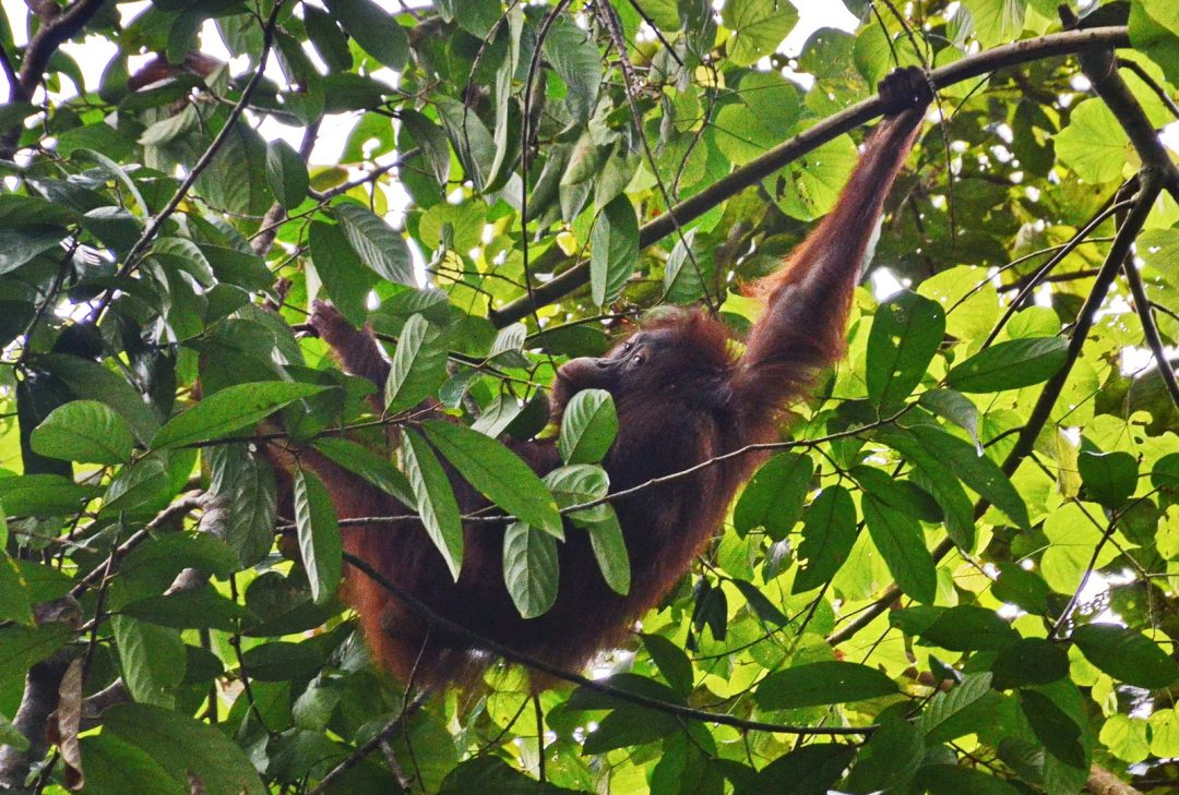 Conservation and Tourism in Borneo