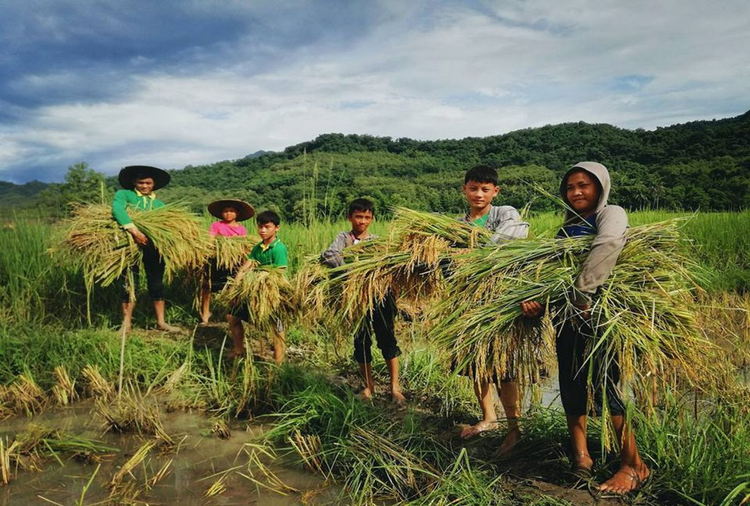 Laos, rice harvest near Luang Prabang