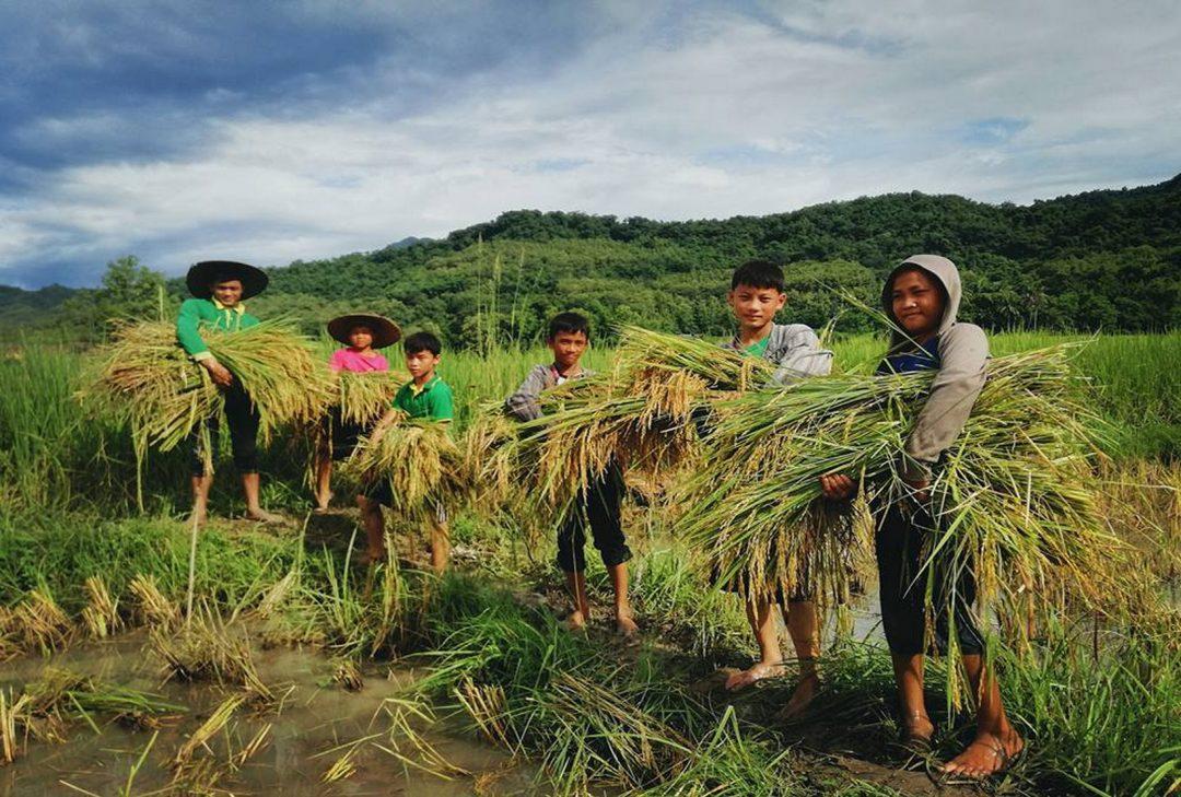 Laos, rice harvest near Luang Prabang
