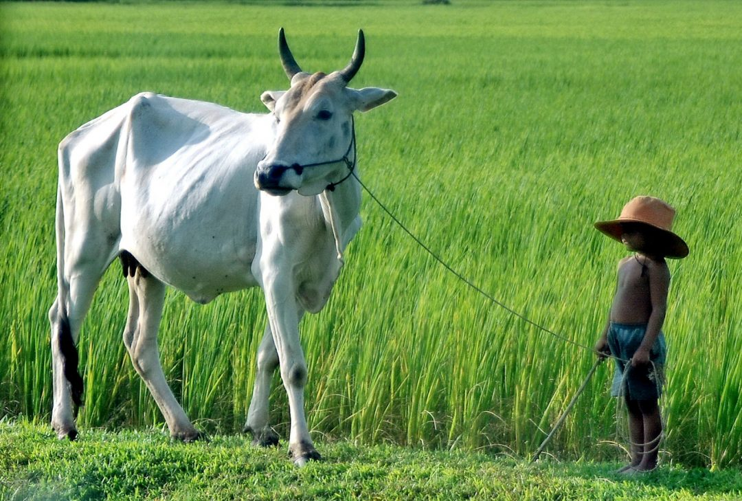 Cambodia, small kid and large cow