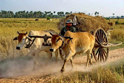 https://allpointseast.com/wp-content/uploads/2013/04/Oxcart-Cambodia-500x336.jpg