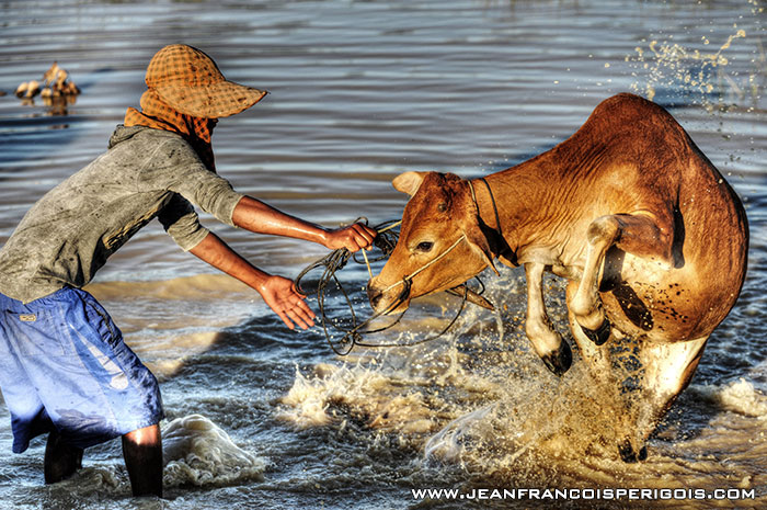 Farmer and cow, Kompong Tom Province