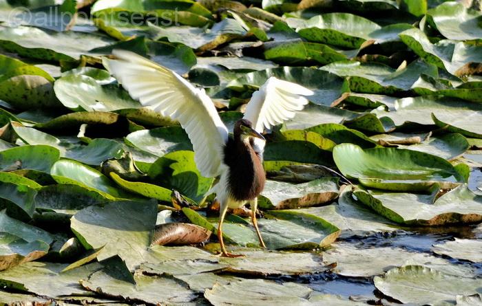 Green Lake Park Kunming. Chinese pond heron