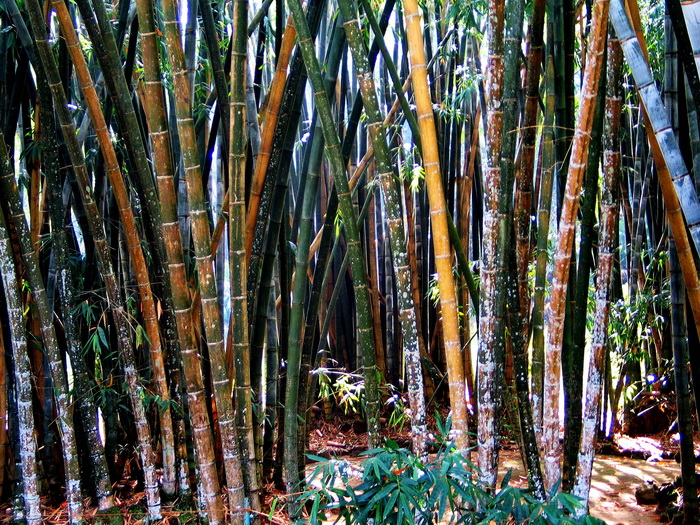 Kandy botanical gardens, bamboo forest