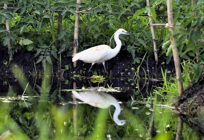 Plumed egret, Inle