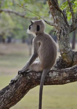 Sri Lanka tour, langur at Anuradhapura