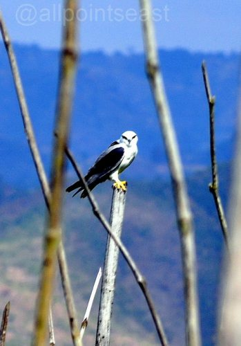 Pic of the day; black-shouldered kite, Inle Lake, Burma