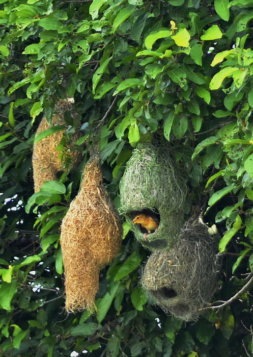 Weaver bird and nests on the banks of the Sangkar