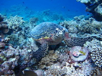 Turtle grazing the reef
