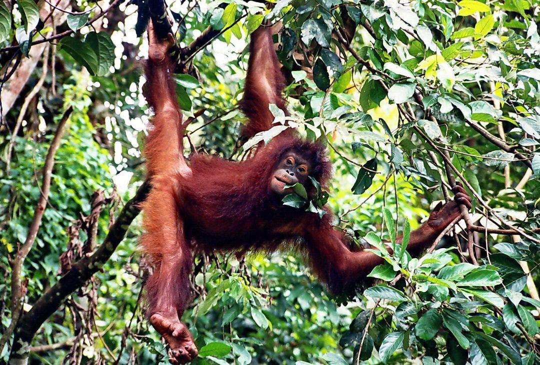 Borneo and Malaysia tours orangutan