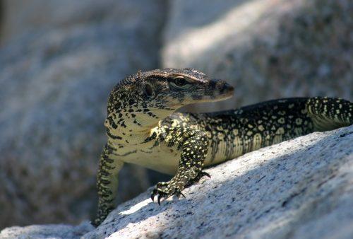 Malaysia, monitor lizard
