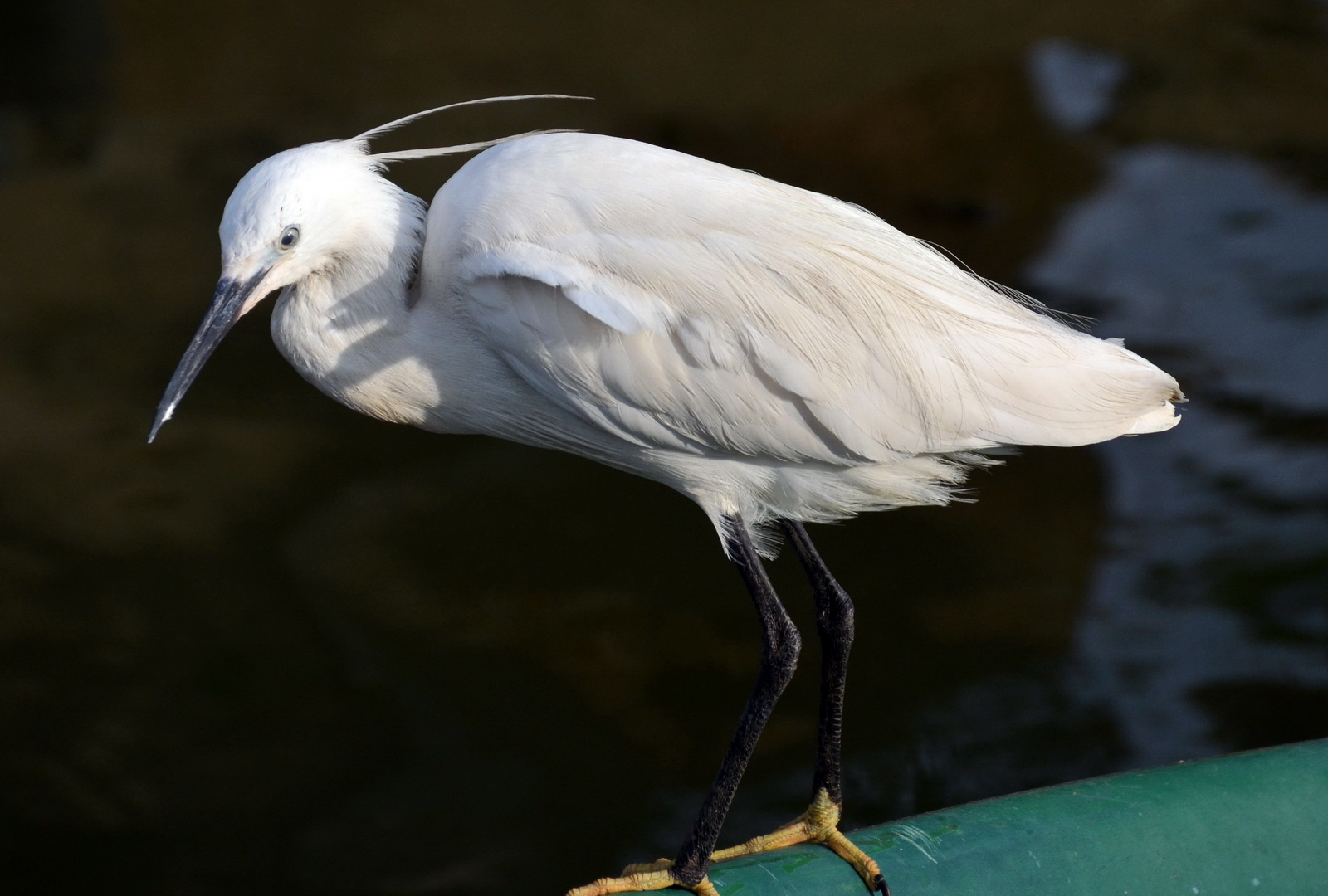 Sri Lanka, Little Egret