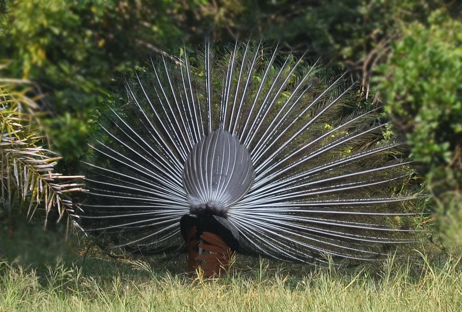 Sri Lanka, Peafowl in display mode