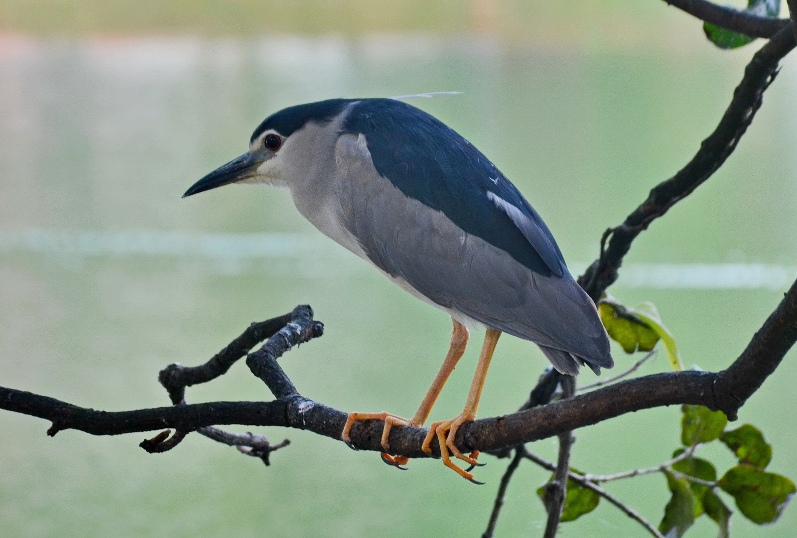 Sri Lanka. Black-capped night heron by Kandy Lake.