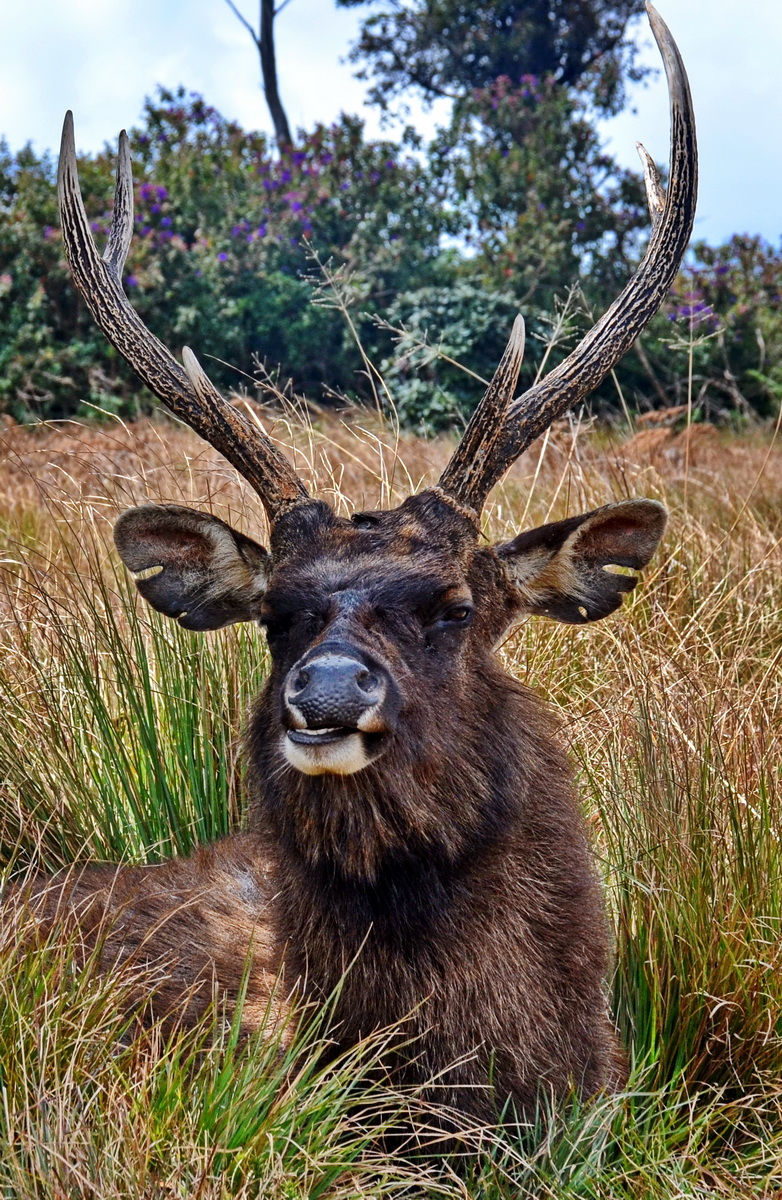 Sri Lanka. Sambur stag at Horton Plains.