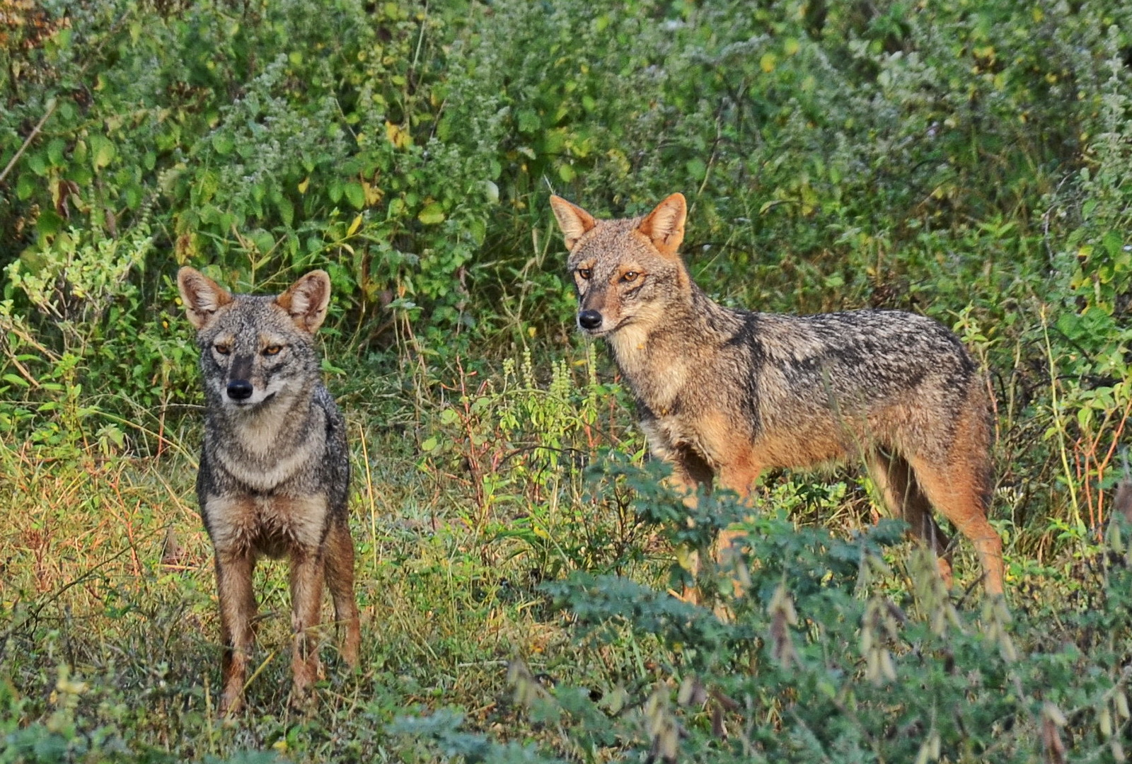 Sri Lanka. Golden jackals in Udawalawa National Park