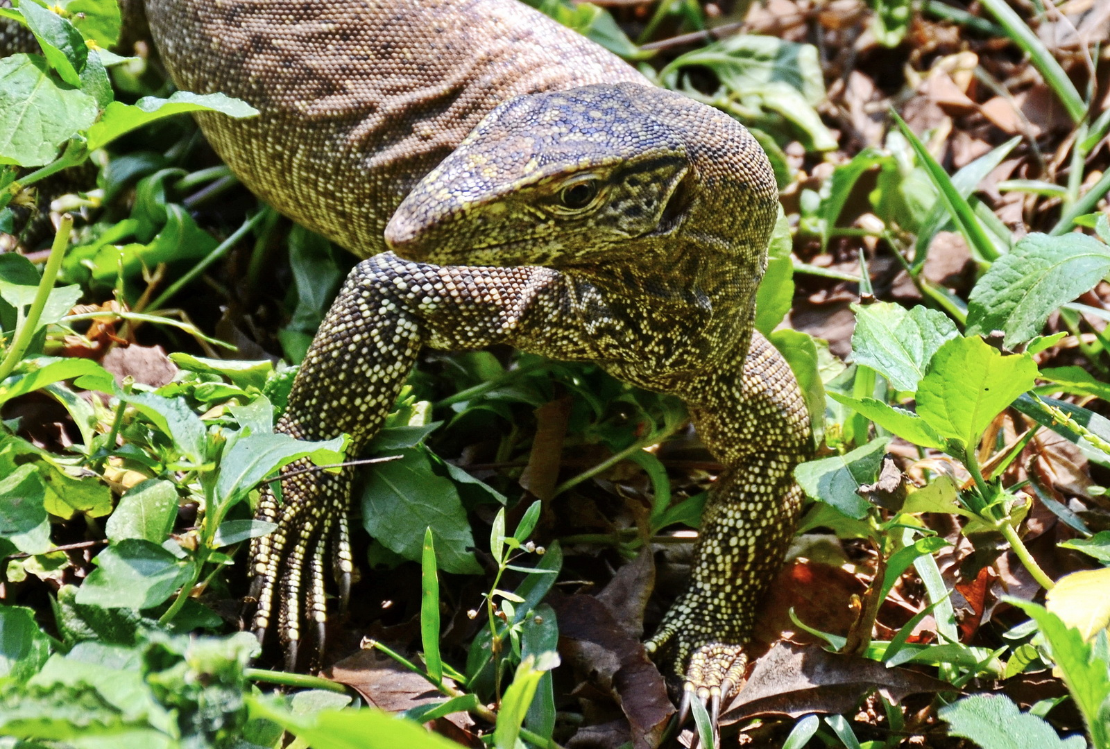 Sri Lanka. Monitor lizard in Udawalawa.
