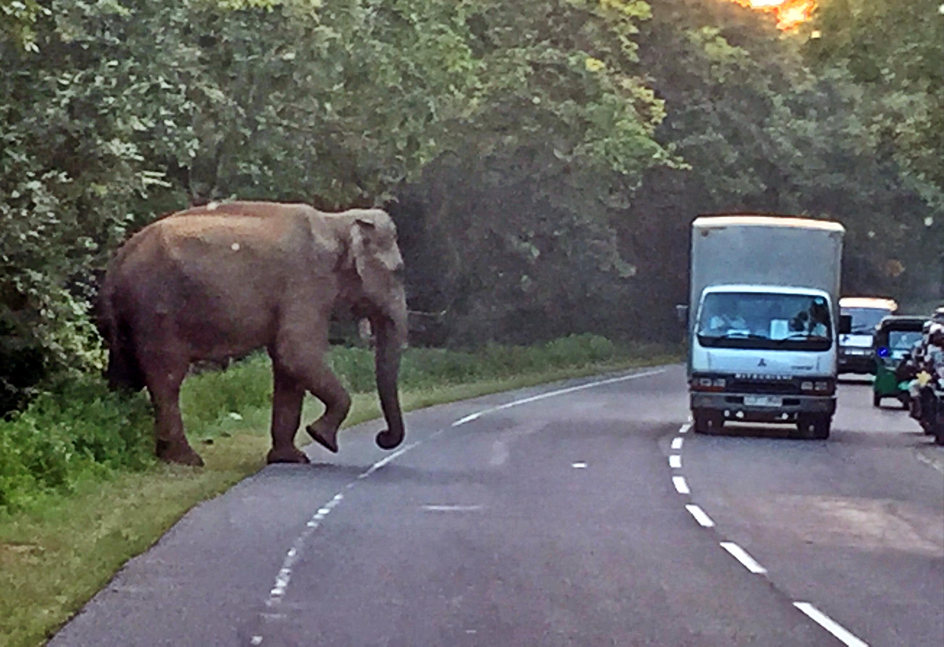 Sri Lanka, Elephant crossing at Habarana