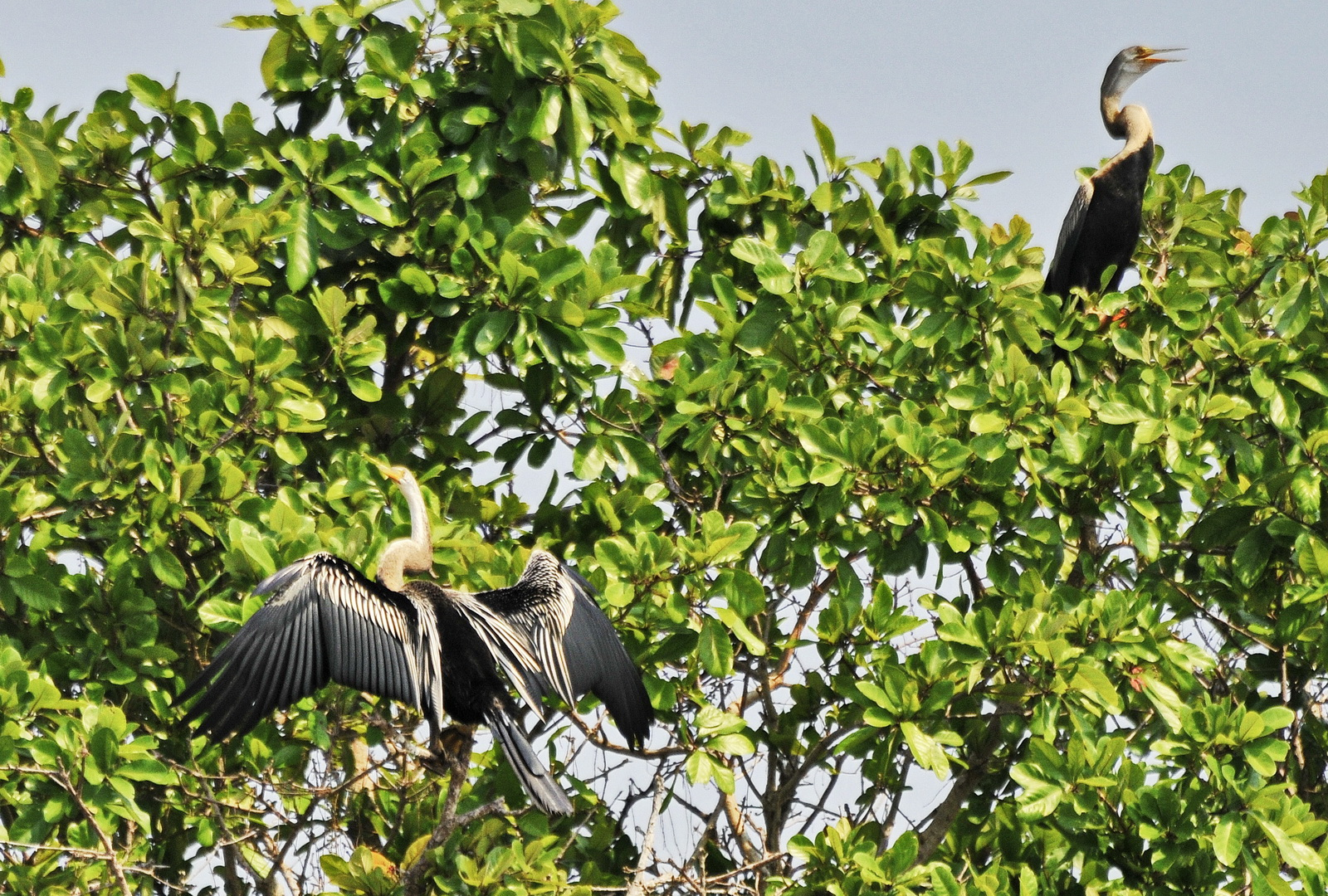 Part of the World's largest colony of Oriental darters at Prek Toal